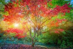 De Japanse Tuin van Seattle, Esdoornboom Stock Afbeeldingen