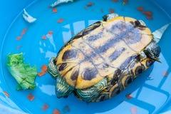 De Japanse volledige ommekeer van de vijverschildpad Stock Foto