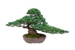 De Japanse witte geïsoleerde boom van de pijnboombonsai Stock Foto