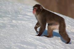 De japanska macaquelöneförhöjningarna som är stigande till och med vit snö Arkivfoto