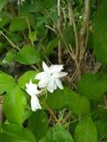 De jasmijn is het symbool van Mother& x27; s Dag in Thailand royalty-vrije stock fotografie
