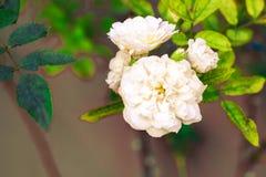 De jasmijn isoleert in de de lentezomer na het regenen in de ochtend, t stock afbeelding