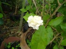 De jasmijnbloem is bloei royalty-vrije stock foto's