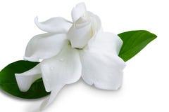 De jasmijnbloem van de gardenia jasminoides Kaap op witte achtergrond Stock Fotografie