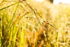 De jasmijnrijst in landbouwbedrijf is klaar tot het meest havest Royalty-vrije Stock Fotografie