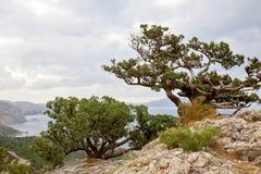 De jeneverbes van het overblijfsel het groeien op rots stock afbeelding