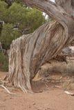 De Jeneverbes van Utah in Nationaal Park royalty-vrije stock foto