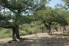 De jeneverbessenbos van het relict Stock Foto