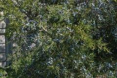 De jeneverbessenstruik is overvloedig behandeld met bessen in de tuin dichtbij de omheining stock foto's