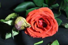 De jeugd en oude dag, de vergelijking van rozen Stock Afbeelding