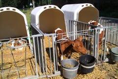 De jeunes vaches sont maintenues distantes Images stock