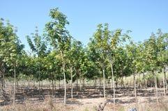 De jonge aanplanting van Rubberbomen stock foto