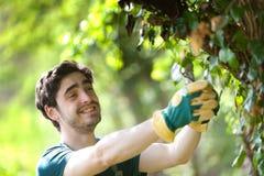 De jonge aantrekkelijke bladeren van het tuinmanknipsel Royalty-vrije Stock Fotografie