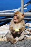 De jonge Aap van Barbarije, Gibraltar stock foto's