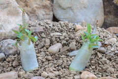 De jonge Adenium-obesumwoestijn nam toe Royalty-vrije Stock Fotografie