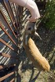 De jonge baby van hertenkuiten Menselijk voer een kuit van zijn hand op het landbouwbedrijf royalty-vrije stock afbeeldingen
