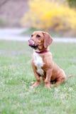 De jonge basset hond die van de hondenmengeling zijn lippen met uit tong likken stock foto