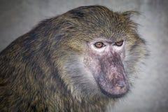 De jonge baviaan kijkt aan de kant stock foto