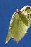 De jonge bladeren van de Beuk. stock foto
