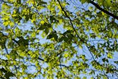 De jonge bladeren van de de lentebeuk Royalty-vrije Stock Fotografie