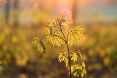 De jonge bladeren van de de lenteesdoorn in de zon Royalty-vrije Stock Afbeeldingen