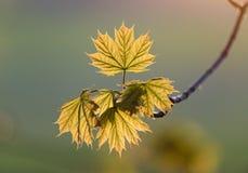 De jonge bladeren van de de lenteesdoorn in de zon Stock Foto's