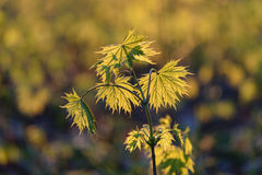 De jonge bladeren van de de lenteesdoorn in de zon Stock Afbeeldingen
