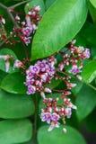 De jonge bloemen van het sterfruit Stock Foto