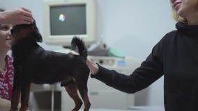De jonge blonde vrouw streelt haar weinig zwarte pug huisdierenzitting in veterinaire kliniek terwijl dierenarts die de hond voed stock footage