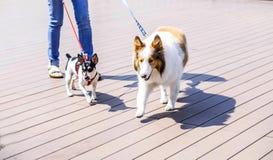 De jonge boeken van de vrouwenholding in een hand terwijl het lopen met een hond Vriendschap tussen mens en hond Huisdieren en di stock afbeeldingen
