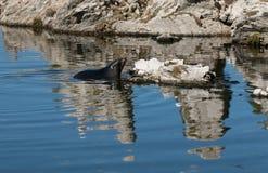 De jonge bontverbinding zwemt tussen rotsen Stock Foto