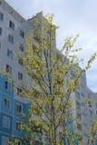 De jonge boom kwam met groene bladeren tot bloei dichtbij het gebouw met meerdere verdiepingen in de stad in de lente royalty-vrije stock afbeeldingen