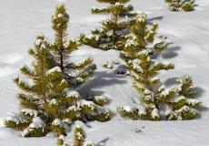 De jonge boompjes van de Lodgepolepijnboom in sneeuw worden behandeld die royalty-vrije stock afbeeldingen