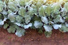 De jonge broccoliinstallaties groeien in huistuin Royalty-vrije Stock Fotografie