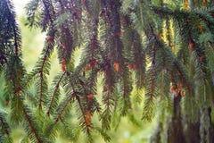 De jonge bruine kegels groeien op een tak van sparren Leef natur stock foto