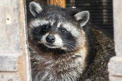 De jonge curiosa hongerige wasbeer ving thuis terwijl het kijken rond het huis voor huisvuil royalty-vrije stock afbeelding