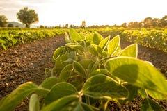 De jonge die soja plant het groeien op een gebied, door warme recente avondli wordt aangestoken stock afbeelding