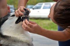 De jonge dierenartscontrole buiten de tanden aan Malamute Van Alaska, sluit omhoog stock afbeeldingen