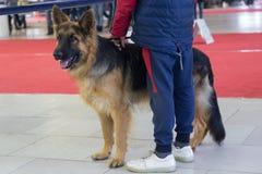 De jonge Duitse herdershond bij de hond toont royalty-vrije stock fotografie