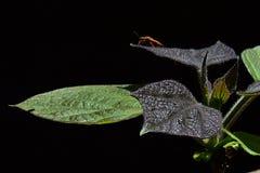 De jonge en oudere bladeren van gele catalpa Catalpa Ovata op donkere achtergrond, kever van heteropterafamilie op achtergedeelte Royalty-vrije Stock Afbeelding