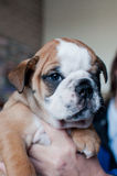 De jonge Engelse hond van het Buldogpuppy Royalty-vrije Stock Foto