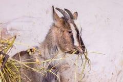De jonge geit in de box eet hooi Het houden en het kweken van binnenlandse animals_ royalty-vrije stock afbeelding