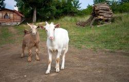 De jonge geitjes van de geit Stock Foto