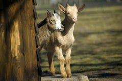 De jonge geitjes van de geit Royalty-vrije Stock Foto's