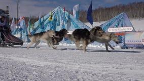 De Jonge geitjescompetities van Kamchatka het Ras Dyulin Beringia van de Sleehond stock video