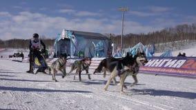 De Jonge geitjescompetities van Kamchatka Sleehond die Dyulin Beringia rennen stock videobeelden