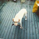 De jonge gele laboratoriumhond die haal met haar eigenaar bedelen te spelen, heeft a royalty-vrije stock foto