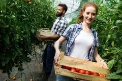 De jonge glimlachende arbeider die van de landbouwvrouw, het oogsten tomaten in serre werken stock afbeelding