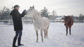De jonge glimlachende vrouw strijkt snuit van aanbiddelijk wit volbloed- paard in de winterboerderij Bruin paard op de achtergron stock videobeelden