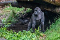 De jonge gorilla kijkt waar zijn moeder is stock foto